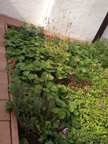 EcoBrooklyn's green roof with Strawberries