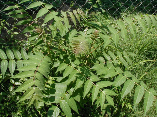 The tree of heaven and its signature leaves