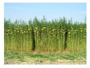 Hemp grows quickly and as it does it absorbs massive amounts of CO2. When you cut it and put it into buildings you are sequestering that CO2.